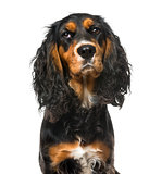 Bad-tempered English Cocker Spaniel, isolated on white,11 months