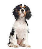 Cavalier King Charles Spaniel sitting , isolated on white