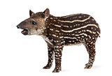 Side view of a young South american tapir, isolated on white, 41
