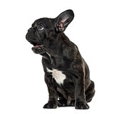 Puppy Black French bulldog sitting and looking away , isolated o