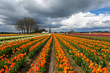 Rows of Colorful Tulips at Festival