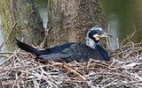 Adult cormorant resting