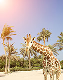 Giraffe and palms
