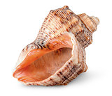 Seashell rapana vertically rotated