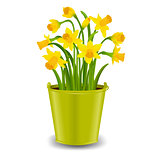 Narcissus In Pot