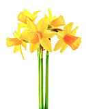 Spring flower narcissus yellow bouquet with green
