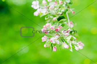 A branch of blossoming Apple trees in springtime, close-up