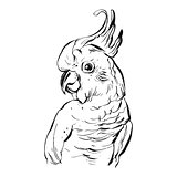 Hand drawn vector brush drawing graphic ink realistic tropical parrot illustration isolated on white background.Design for save the date,coloring book,wedding,birthday,decoration.