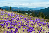 Crocus blossom in mountains