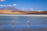 Pink flamingos in altiplano laguna, sud Lipez reserva, Bolivia