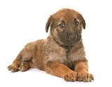 puppy belgian shepherd dog laekenois