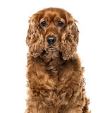 Close-up of an English Cocker Spaniel, 6 years old , isolated on