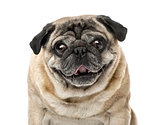 Close-up of a Pug, 7 years old , isolated on white