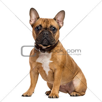 French Bulldog sitting and looking at the camera, isolated on wh