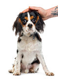 Cavalier King Charles Spaniel sitting and caressed, 9 months old