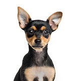 Close-up of a German Pinscher puppy, 2 months old, isolated on w