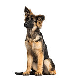 Puppy German Shepherd Dog sitting, 4 months old, isolated on whi