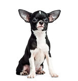 Chihuahua sitting, 5 months old, isolated on white