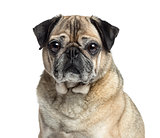 Close-up of an old Pug, 9 years old, isolated on white