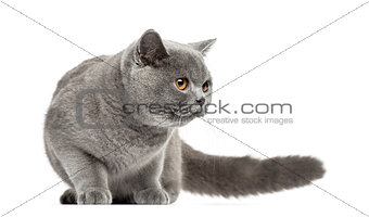 British Shorthair looking away, 7 months old, isolated on white