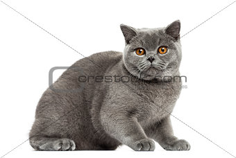 British Shorthair afraid, 7 months old, isolated on white