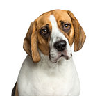 Close-up of a Beagle, 2 years old, isolated on white