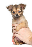 Chihuahua held by hands, 2 months old, isolated on white