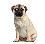 Pug sitting, 7 months old, isolated on white