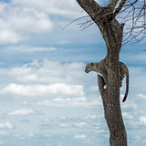 Leopard on a tree in Serengeti National Park