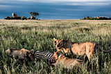Male and female lions eating zebras in Serengeti National Park