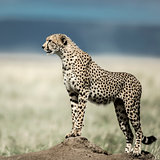Cheetah on a mound watching around in Serengeti National Park