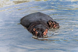 Hippopotamus and calf swimming in river in Serengeti National Pa