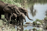 Elephants and calfs drinkink in watercourse in Serengeti Nationa