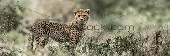Cub cheetah in Serengeti National Park