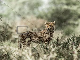 Cub cheetah in Serengeti National Park