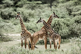 Giraffes playing in Serengeti National Park