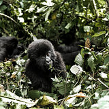 Young mountain gorilla in the Virunga National Park, Africa, DRC