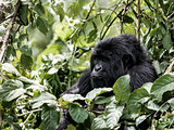 Mountain gorilla, Virunga National Park, DRC, Africa