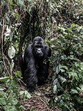 silverback mountain gorilla in the Virunga National Park, Africa