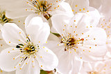 Beautiful white flowers of a cherry tree on a branch. Outdoors.