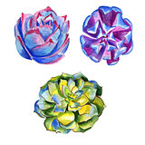 Wildflower succulentus flower in a watercolor style isolated.