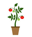 Garden Background Vector Illustration. Growing Bush of Tomatoes