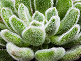Green leaves of succulent, macro shot