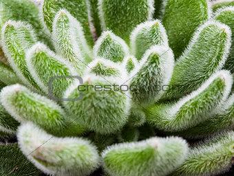 Green leaves of succulent, macro shot