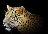 Leopard on Black Background