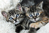cute grey kittens