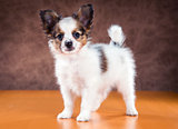 Portrait of a Papillon puppy