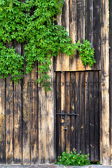 Old wooden wall with door, vintage metal lock and green leaves o