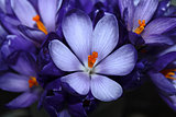 Spring crocus bouquet