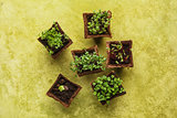 Different potted seedlings growing